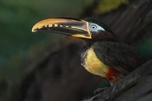 Aracari mit Kastanienohren foto