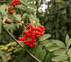 Vogelbeerzweig mit orangefarbenen Beeren und grünen Blättern foto