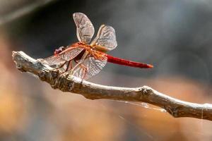 Kardinal venerossa Libelle thront auf einem Ast foto