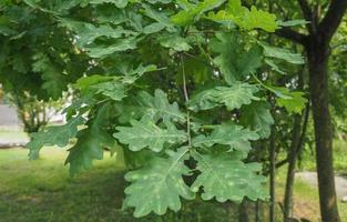 Eiche, Quercus-Robur-Bäumchen foto