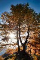 herbstliche Lärchenpflanze unter den Sonnenstrahlen in den Bergen foto