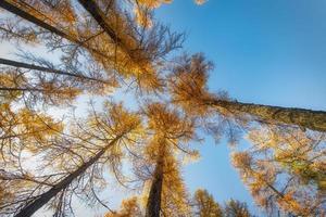 hohe herbstliche Lärche gen Himmel von einem Forseta . von unten aufgenommen foto