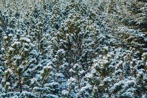 grüne Zweige der Fichte oder Kiefer mit Schnee bedeckt foto