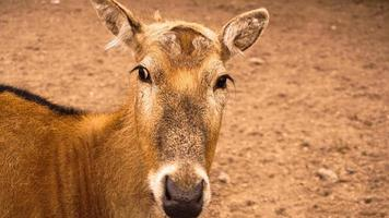 ein weibliches Reh im Zoo. Hirsch auf einem Hintergrund aus Sand foto