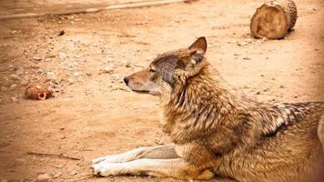 der wilde wolf liegt und schaut in die ferne. Konzept für wilde Tiere foto
