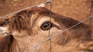 Rehwild im Käfig des Zoos. Foto eines Tieres hinter einem Eisennetz