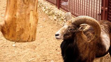 das Mufflon kratzt mit seinen Hörnern an einem Holzpfosten. foto