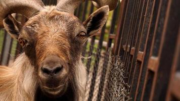 Nahaufnahme Foto des Kopfes von Markhor. Tier im Zoo