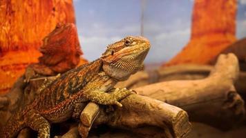 Reptil im Terrarium. Tiere im Zoo. foto