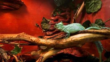 Reptilien im Zoo. eine leuchtend türkisfarbene Eidechse. Käfig im Terrarium foto