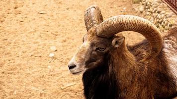 Mufflon, Porträt eines Säugetiers mit großen Hörnern foto