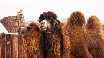 Nahaufnahme Foto von zwei Kamelköpfen. Tiere im Zoo