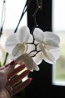 Blumentopf in der Nähe eines großen Fensters. weiße Orchidee auf der Fensterbank foto