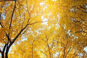Baumkronen mit vergilbten Blättern foto