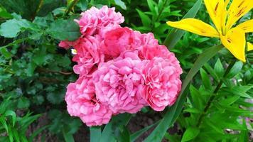 rosa Rosen. Rosenstrauch während der Blüte im Garten. foto
