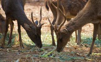Gruppe magerer Hirsche, die im Gras fressen foto