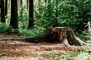 großer Baumstumpf im Sommerwald. Baumstumpf foto