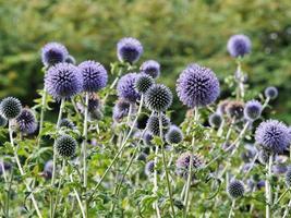 lila Südkugel Distel Blumen in einem Garten foto