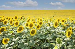 schöne Sonnenblumen im Feld, natürlicher Hintergrund. foto