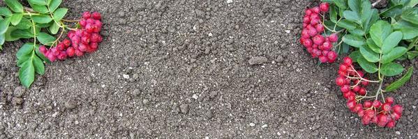 Vogelbeerzweige auf dem Boden. lockerer fruchtbarer Boden. natürlicher Hintergrund foto