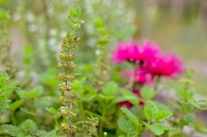 Rosa Blume im Garten in der Ukraine hautnah foto