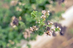 Thymus serpyllum blüht im Garten, Nahaufnahme foto