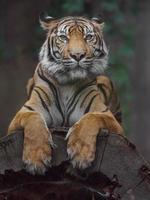 Sumatra-Tiger auf Baumstamm foto