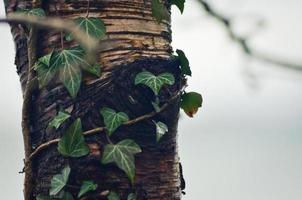 schöner Efeu um einen Baum foto