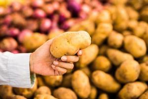 Nahaufnahme der weiblichen Hand, die eine Kartoffel im Markt wählt foto