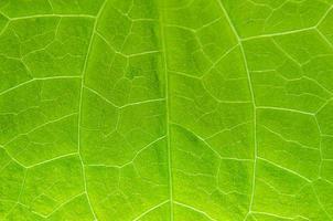 grüne Blätter Textur und Blattfaser, Hintergrund durch grünes Blatt. foto