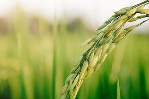 Paddy-Reis und Reissamen in Farm, Bio-Reisfeld und Landwirtschaft. foto