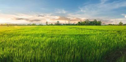 Landschaft aus Reis und Reissamen auf dem Bauernhof mit schönem blauem Himmel foto