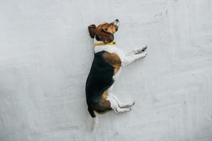 Beagle-Hund mit gelbem Halsband, der auf einem weißen Holzboden schläft foto