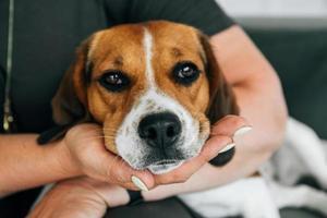 Beagle-Hund liegt auf den Händen einer Frau foto