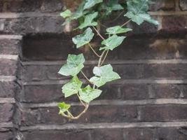 Efeupflanze und Wandhintergrund foto