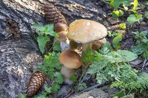 Speisepilze wachsen im Wald in der Nähe der Fichte mit Zapfen foto