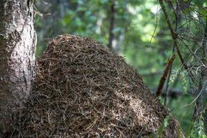 Ameisenhaus in der Nähe eines Baumstammes im Wald foto