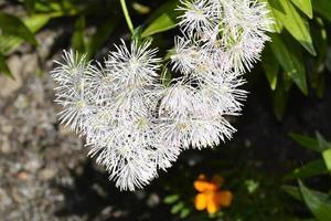 die blüten sind weiß flauschig foto