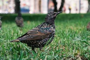 gemeiner Starvogel auf grünem Gras foto