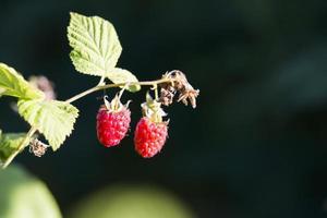 Himbeerpflanze Himbeerstrauch foto
