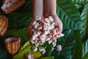 frische Kakaobohnen in der Hand foto