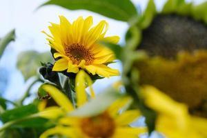 Sonnenblumen mit grünen Blättern vor blauem Himmel foto