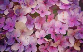 Nahaufnahme der Hortensienblume, Hortensie Macrophylla Blumenhintergrund. foto