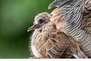Baby Taube von Mutter unter Körper mit verschwommenem grünen Garten geschützt. foto