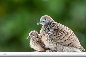 weibliche Taube schützt Baby unter dem Körper mit verschwommenem grünem Garten. foto