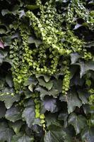 Wand voller grüner Efeu foto