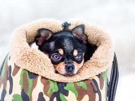 Porträt eines Chihuahua-Hundes in einer Hundetrage bei Schneewetter foto