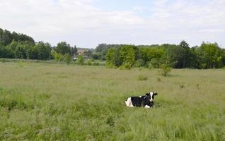 Kuh auf grüner Wiese foto