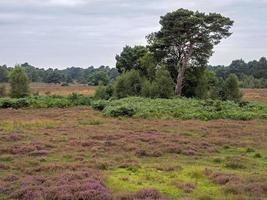 Heidekraut und Bäume bei Skipwith Common, North Yorkshire, England foto