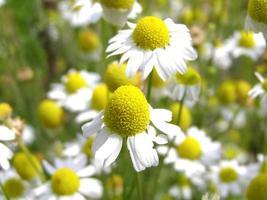 Kamillenpflanze, Chamälelum, weiße und gelbe Blume foto